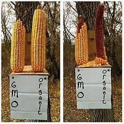 2 peices of corn