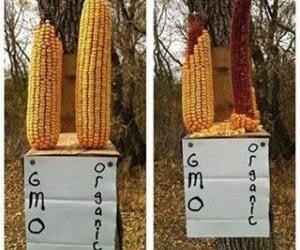 Corn: Common Cause of Allergies, Arthritis, & Auto-Immune Disorders?