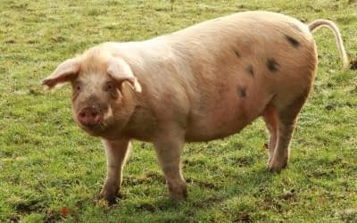 Choose Beef over Pork: 7 Disturbing Reasons Why